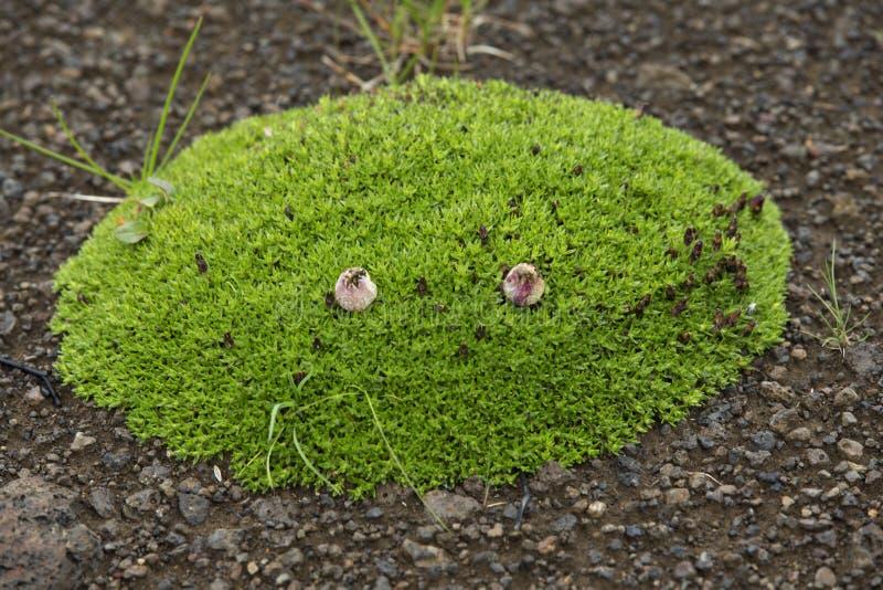 Touffe avec l'herbe verte s'élevant sur la lave volcanique photo stock