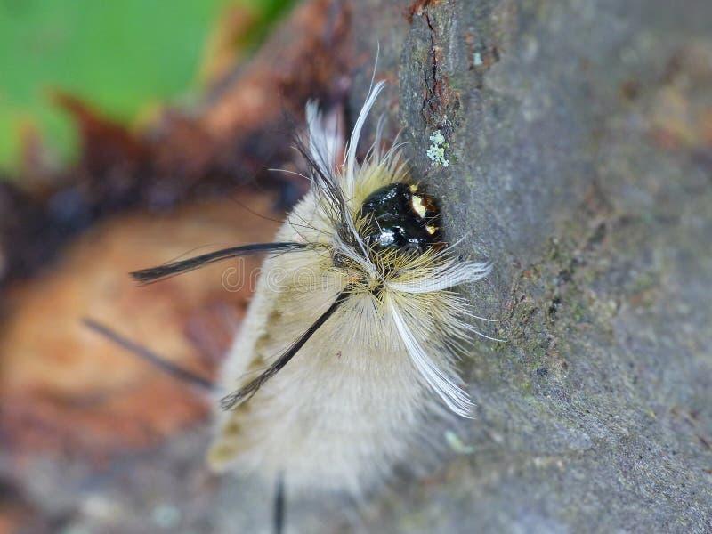 Touffe Caterpillar d'hickory sur un arbre photographie stock