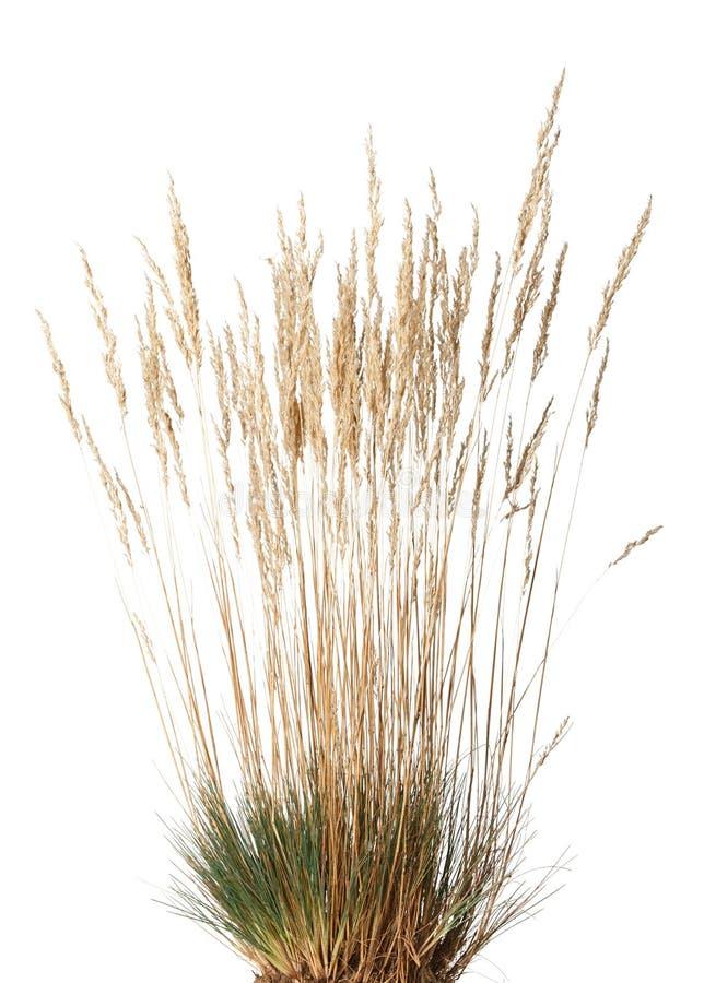 Touffe d'herbe sèche avec le panicle photos libres de droits