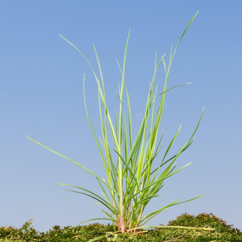Touffe d'herbe sauvage dans la mousse images stock