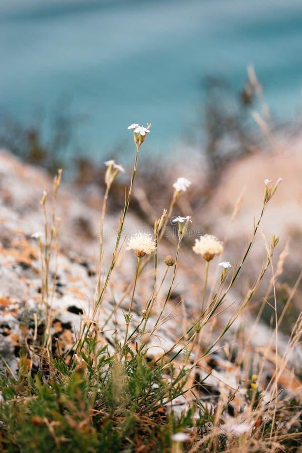 Touffe de l'herbe et des petits wildflowers s'élevant devant les roches et l'eau de mer côtières photographie stock libre de droits