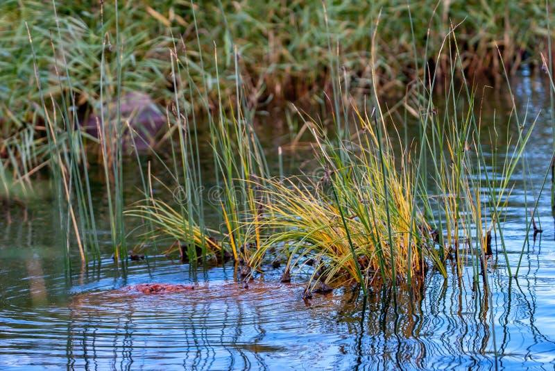 Touffes vertes d'herbe collant hors de l'eau image libre de droits