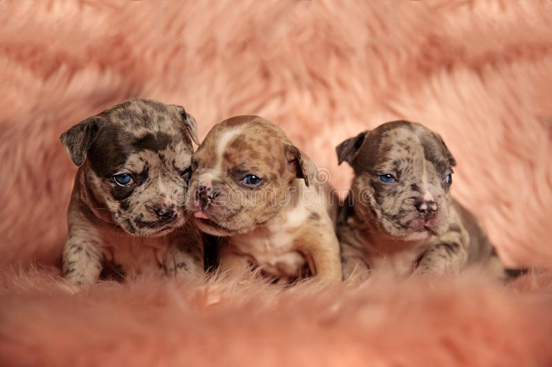 Tough American Bully puppies posing angry royalty free stock images
