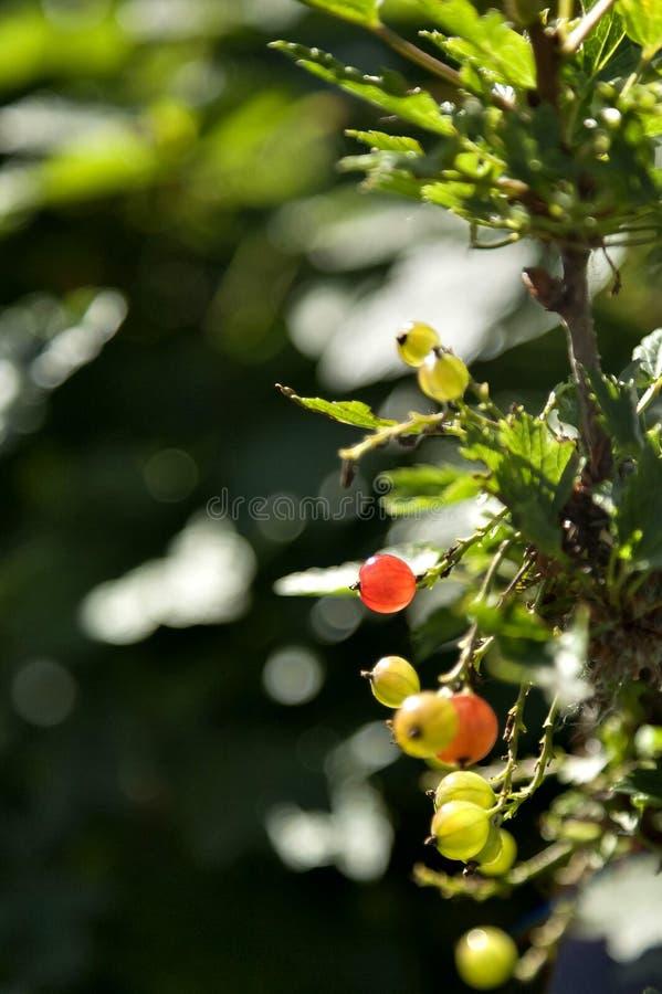 Toujours vert mûrit la groseille rouge photos stock