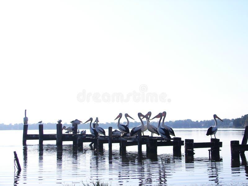 Toukley pelikan fotografering för bildbyråer