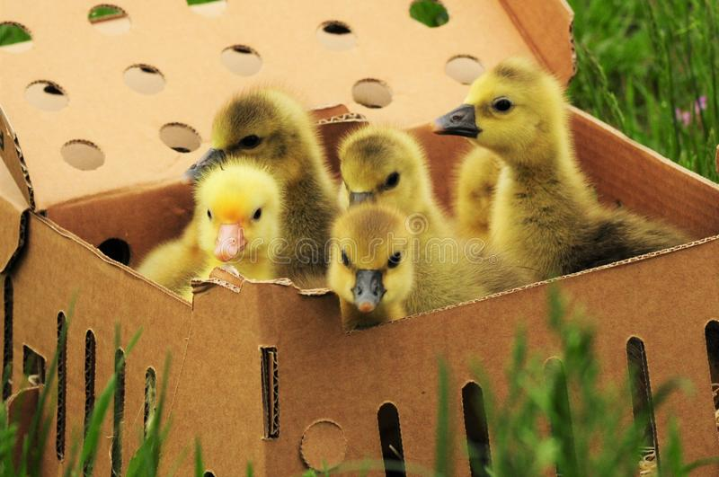 Goslings in a box. One day old baby Toulouse geese in a cardboard box stock photos
