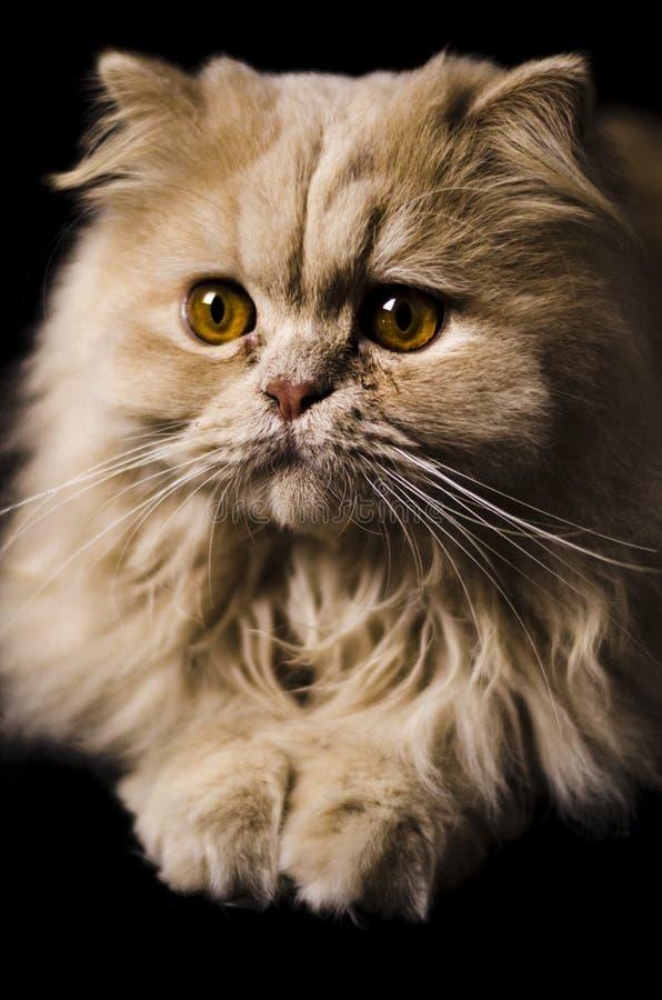 Toulouse o gato foto de stock royalty free