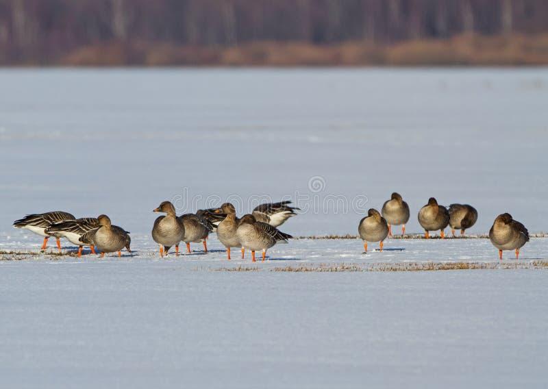 Toundra Bean Goose sur un champ neigeux photos libres de droits