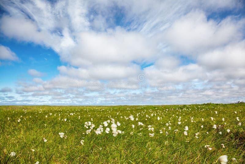 Toundra d'herbe de coton photo libre de droits