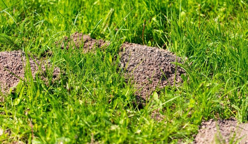 Toupeira escavada na terra na mola imagem de stock royalty free