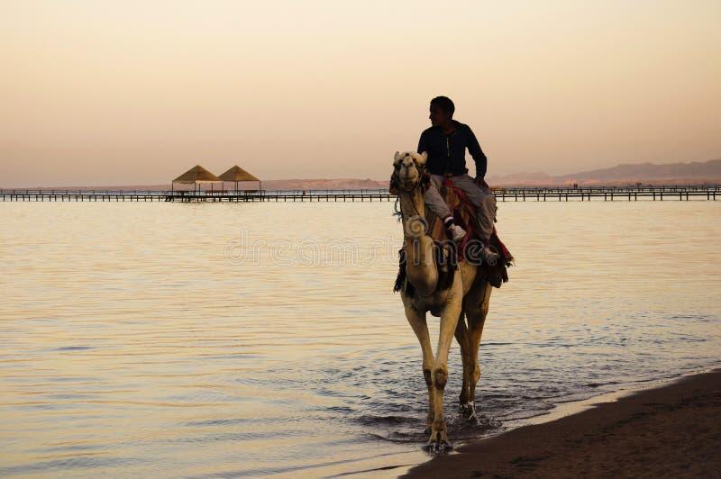 Tour de chameau photo stock