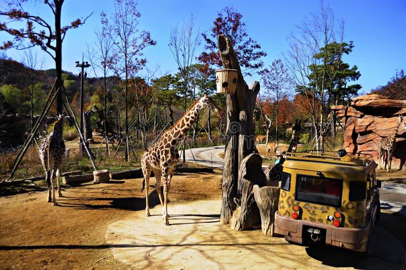 Tour de safari dans Everland, Corée du Sud image libre de droits