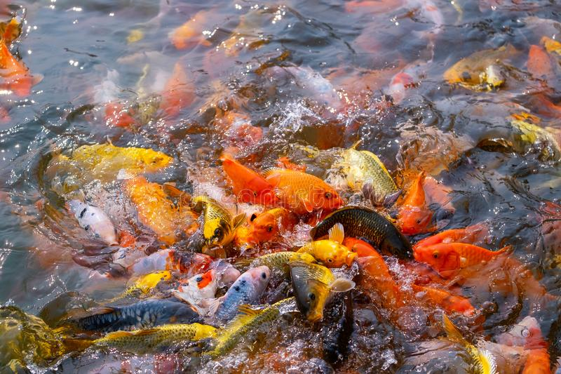 Tourism Feed Many Hungry Fancy Carp, Mirror Carp Fish, Koi in the Pond. Colorful Fish in the Pool stock photos