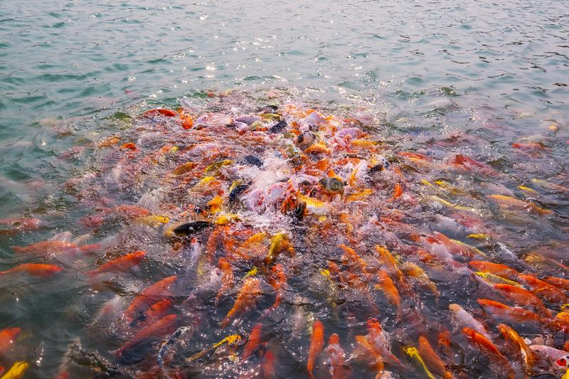 Tourism Feed Many Hungry Fancy Carp, Mirror Carp Fish, Koi in the Pond. Colorful Fish in the Pool.  stock photography