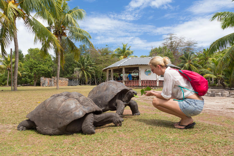 Tourist feeding Aldabra giant tortoises on Curieuse island, Seychelles. stock images