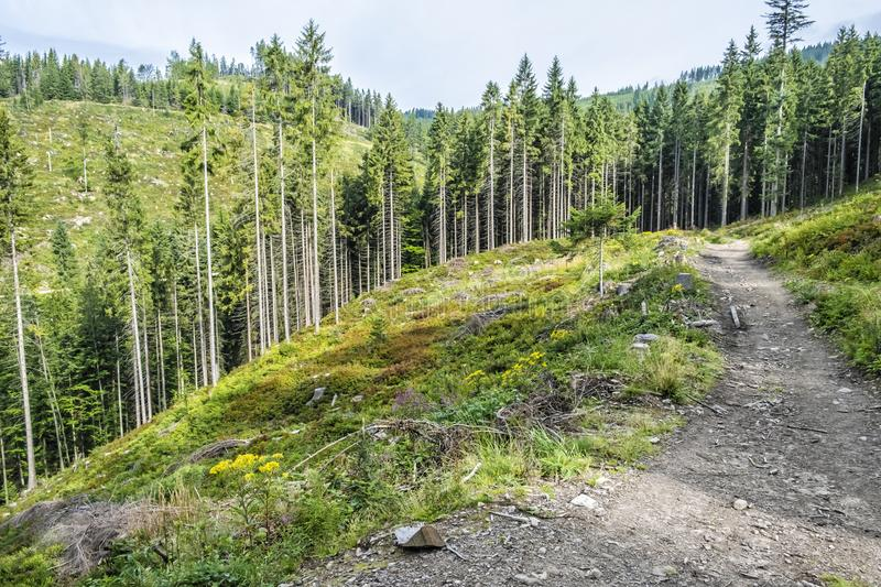 Coniferous forest, Babia hora, Orava, Slovakia royalty free stock images