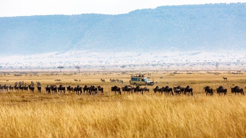 Wildebeest and Zebra Tourist Safari Drive royalty free stock photography