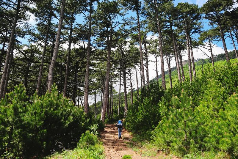 Tourist walks along a path in pine forest. Tourist girl with a backpack walks along a path in pine forest, a summer sunny day, the back view royalty free stock images