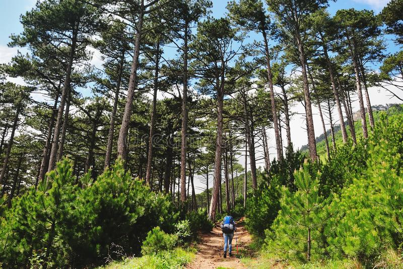 Tourist walks along a path in pine forest. Tourist girl with a backpack walks along a path in pine forest, a summer sunny day, the back view stock photo
