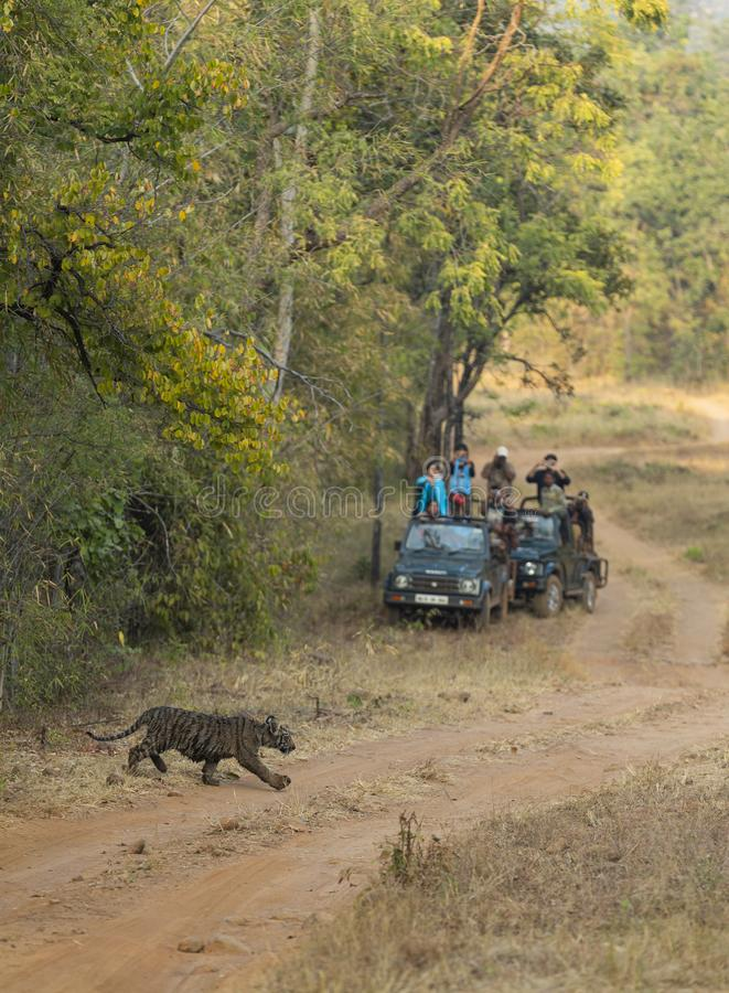 Tourist keeping a distance and waching  tiger cub at Tadoba Andhari Tiger Reserve,Chandrapur,Maharashtra,India.on 4th jan 2017. Tourist keeping a distance and stock photography