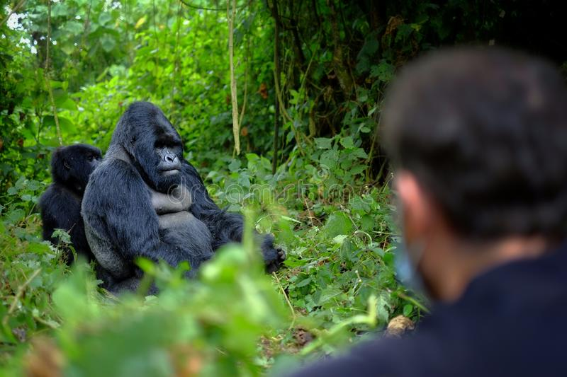 Encounter of tourist and mountain gorilla in African jungle. royalty free stock photos