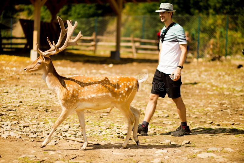 Tourist man in forest zoo touches cute sika deer. Tourist man in summer forest zoo touches cute sika deer royalty free stock photography