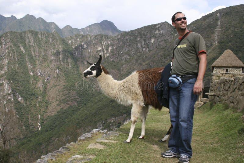 A tourist meet a guanaco Lama guanicoe camelid native to South America, Machu Picchu Peru royalty free stock photos