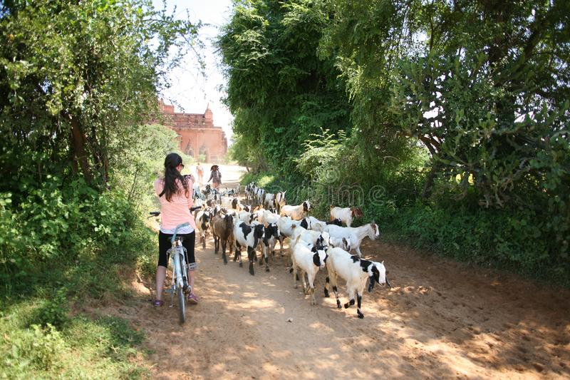 Cycling past goats in Bagan stock photo