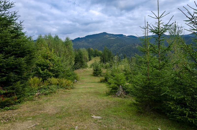 Tourist path to the top of the high ridge, on which green young Christmas trees grow against the blue sky royalty free stock photography