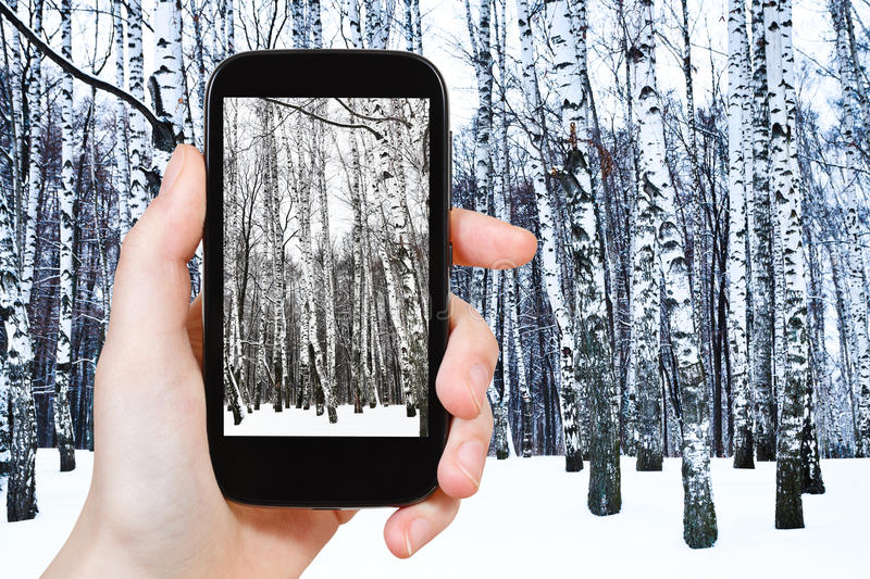 Tourist photographs of birch grove in cold winter royalty free stock photo