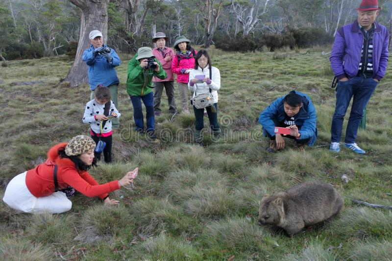 Touriste asiatique photographiant un wombat en Tasmanie Australie photos stock