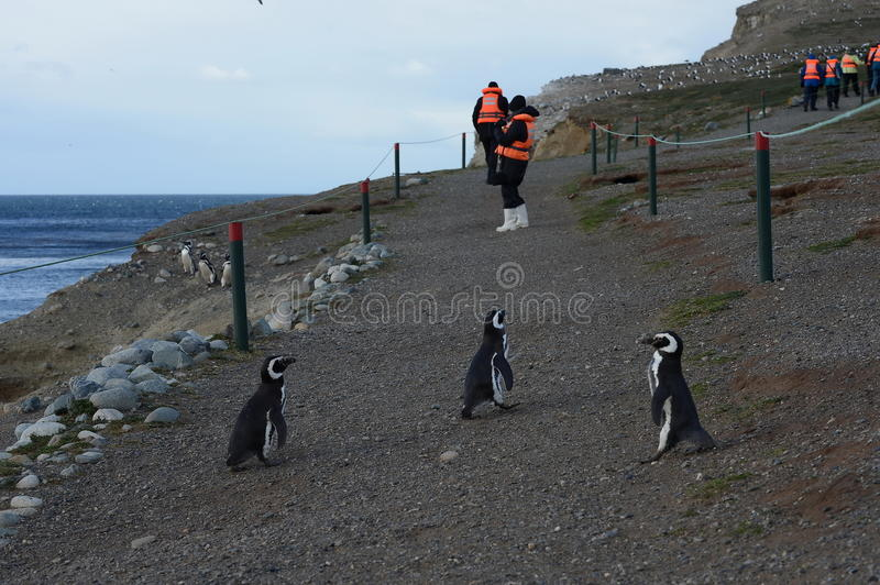 Touristen beobachten Magellanic-Pinguine auf Magdalena-Insel in der Straße von Magellan nahe Punta Arenas stockfotografie