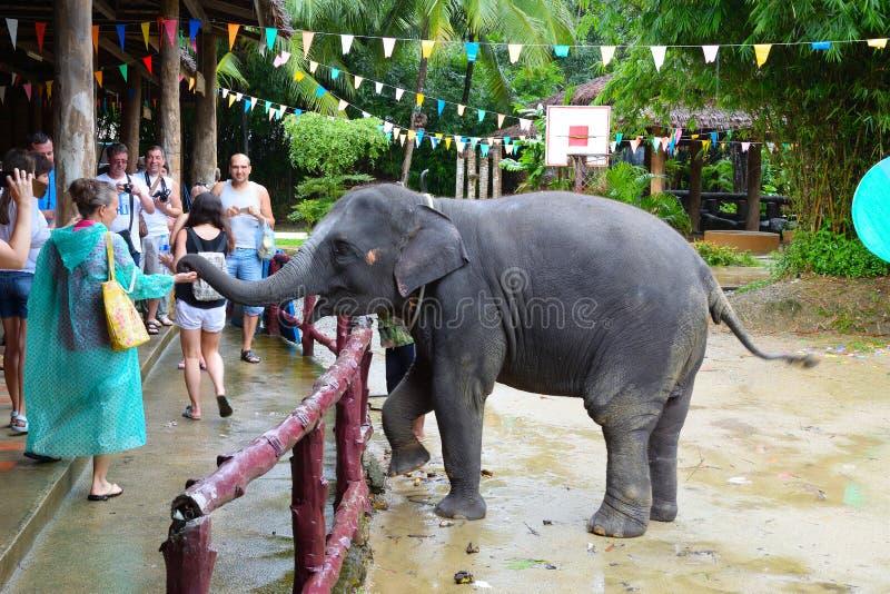 Touristen passen den Elefanten auf, in den Streichen von Phangnga in Thailand zu zeigen Eine Frau zieht einen Elefanten von ihrer lizenzfreies stockfoto