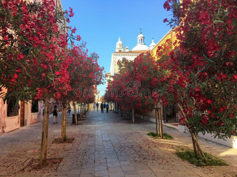 Touristen und Einheimische gehen hinunter eine schöne ruhige Straße, die mit blühenden roten Blumen der Bäume in Venedig, Italien stockbilder