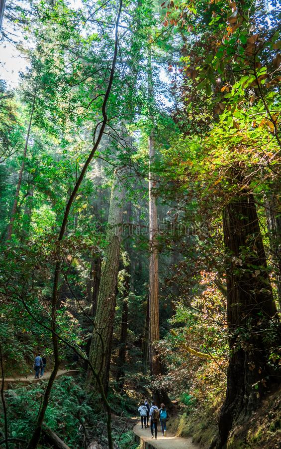 Touristes parmi les arbres de séquoia géant chez Muir Woods image libre de droits