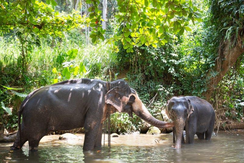 Touristische asiatische Elefanten in der Gefangenschaft, angekettet, missbraucht für touristische Falle stockfoto