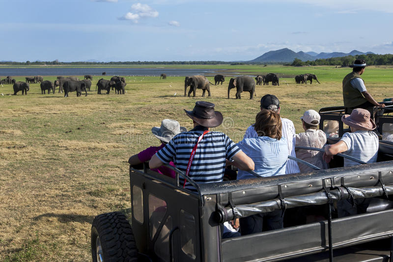 Tourists aboard a safari jeep watch a herd of wild elephants grazing in Minneriya National Park in Sri Lanka. stock photos
