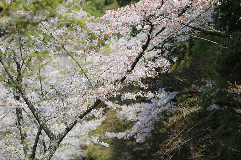 Tourists enjoy cherry blossom at Path of Philosophy in Kyoto. It is a pedestrian path that follows a cherry-tree-lined canal in Kyoto royalty free stock photos
