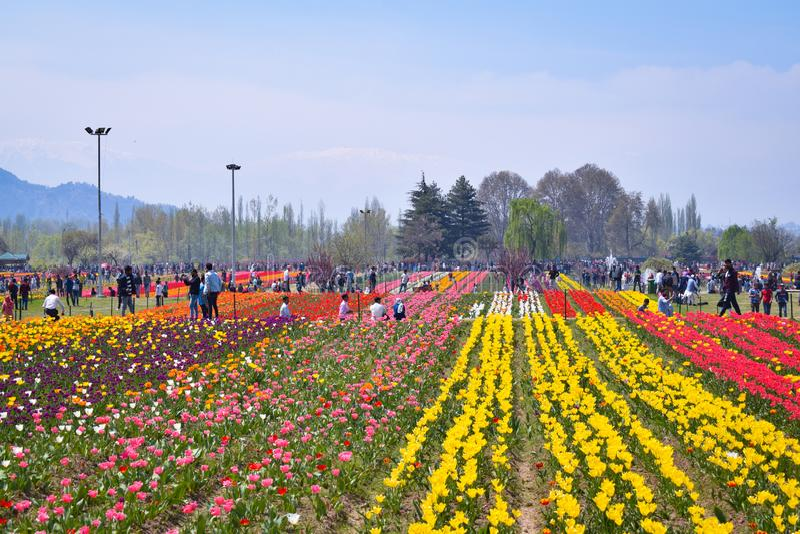 Tourists enjoying and taking photos in asia's largest tulip Garden Srinagar,kashmir, India. stock images