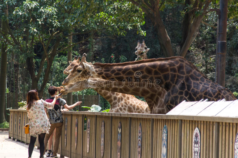 Tourists feed the giraffes stock images