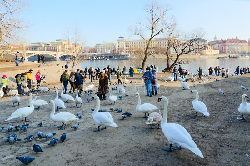 Tourists feed swans on bank of Vltava River on Kampa Island, Prague, Czech Republic stock photo