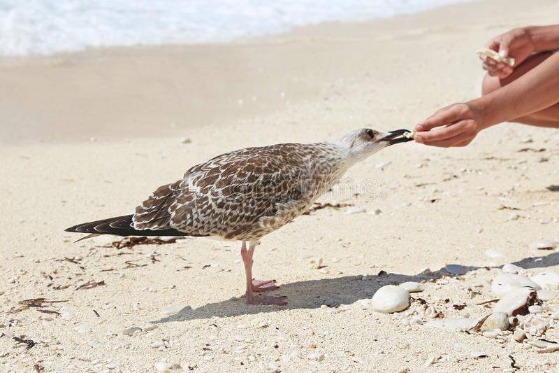 Tourists feeding the seagulls at a greek beach royalty free stock images