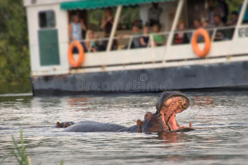 Tourists observing an hippo on the Zambeze river. Zambia stock photography