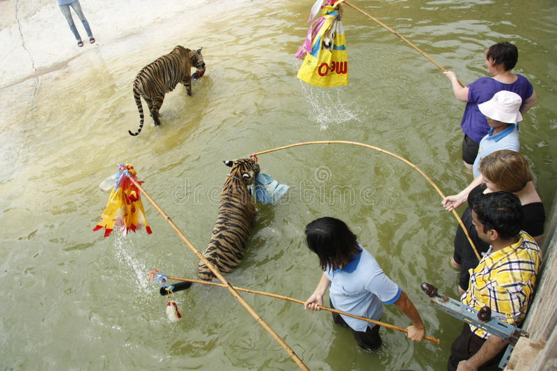 Tourists play with tigers in water royalty free stock photos