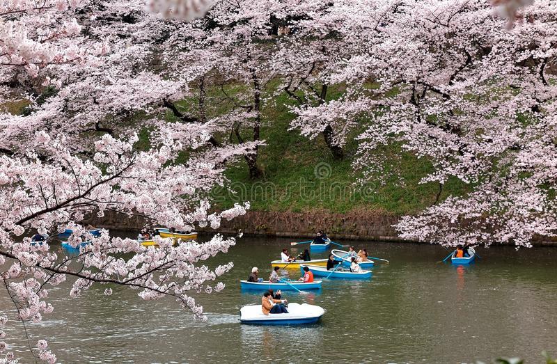 Tourists rowing boats on a lake under beautiful cherry blossom trees in Chidorigafuchi Urban Park during Sakura Festival in Tokyo royalty free stock images