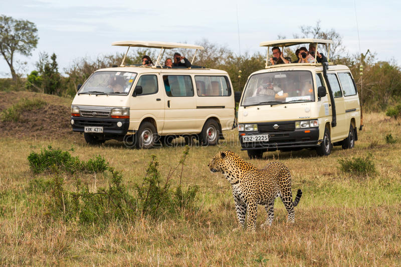 Tourists take pictures of leopard royalty free stock images