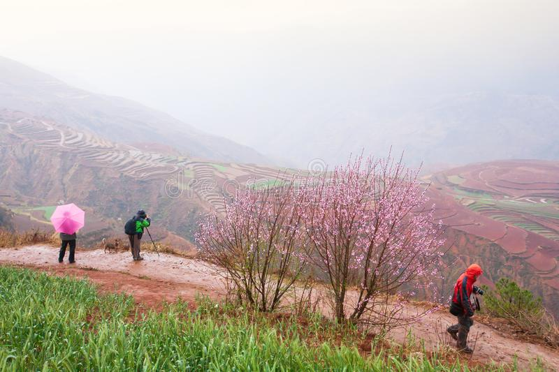 Tourists taking photos of Red land with blooming Peach cherry trees, pink flower in full bloom. Green wheat field foreground. royalty free stock photography