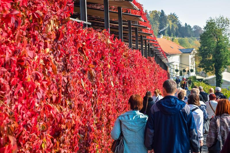 Tourists walk along a fence overgrown with a climbing plant with red leaves royalty free stock image