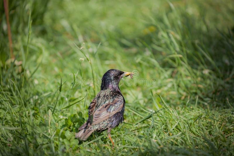 ?tourneau commun sur l'herbe verte photographie stock libre de droits