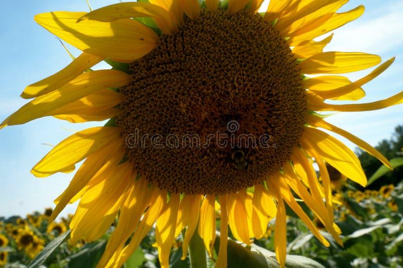 Tournesol étroit avec des abeilles photographie stock